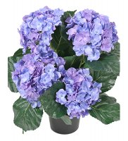 hortensia Mr Plant