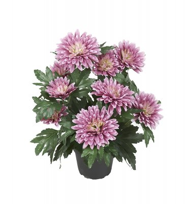 Chrysanthemum Mr Plant